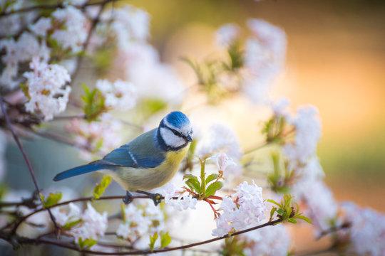 kleine Blaumeise in einem blühenden Baum