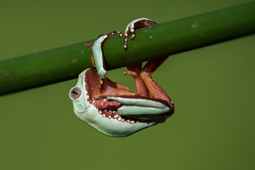 American green tree frog (Hyla cinerea) Wall mural