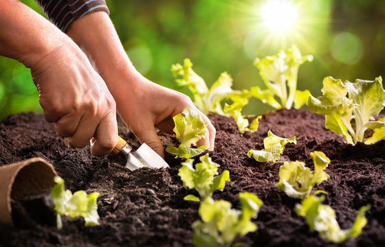 Farmer planting young seedlings of lettuce salad