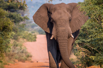 Big Elephant bull walking on the road.