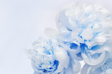 White blue peonies close up on wood with copy space for congratulations. Holiday background for Womens, mothers, Valentines day, 8 march. Soft selective focus.