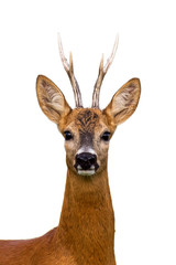 Foto op Aluminium Ree Close-up of head of roe deer, capreolus capreolus, buck isolated on white background.