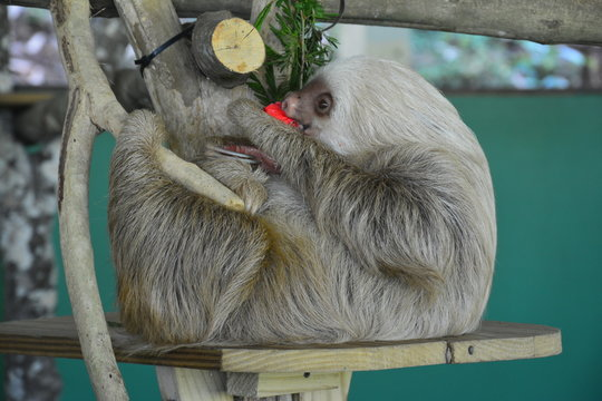 Paresseux Gamboa Resort Panama - Sloth Gamboa resort Panama