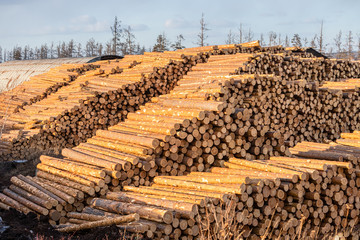 Piles of pine and larch logs prepared for export. The concept of felling and destruction of world forest reserves. Wall mural