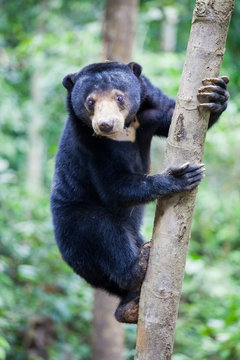 Sun bear, Helarctos malayanus, the smallest bear in the world, the sun bear native to the rainforests of South east Asia, a very talented tree climber. Borneo. Malaysia.