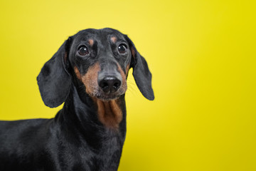 Portrait of a dog breed of dachshund, black and tan,  on a yellow background. Background for your text and design. concept of canine emotions.