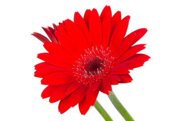 Foto op Canvas Gerbera red vintage fresh gerbera flower isolated on the white background