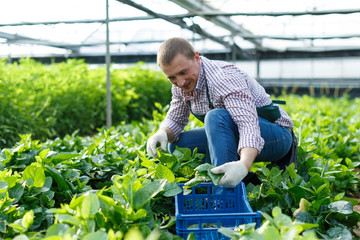 Worker checking quality of malabar spinach