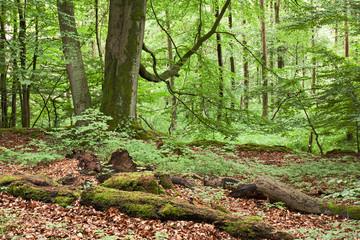 Wohldorfer Wald in Hamburg. im Vordergrund Buchen und Totholz, im Hintergrund Erlenbruchwald.