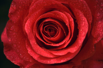 Closeup photo of beautiful rose