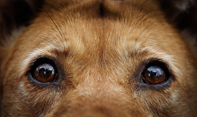 Eyes of a stray dog of a red color.