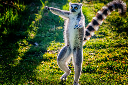 Ring-tailed lemur is dancing on green grass. He plays and performs. Like all lemurs it is endemic to the island of Madagascar.