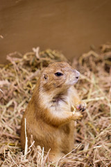 Image of prairie dog on the dry grass. Pet. Wild Animals.
