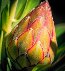 Single Red Protea flower bud about to Unfold