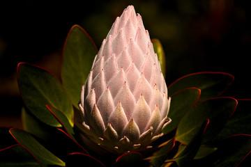Single White Protea Flower Unfolding on Dark Background.