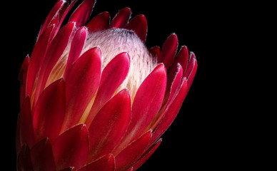 Single Red Protea flower Isolated on Black Backround
