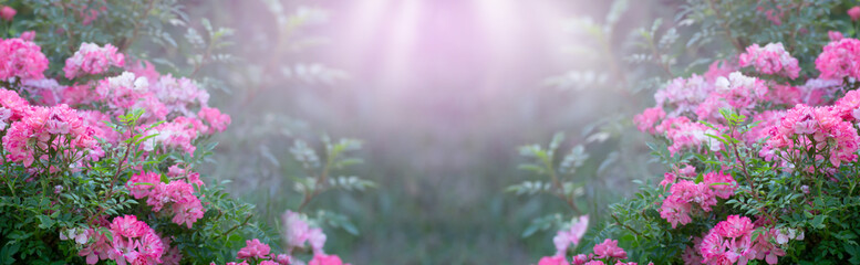 Wall Mural - Mysterious spring floral banner with blooming pink rose flowers on blurred  background and sun rays