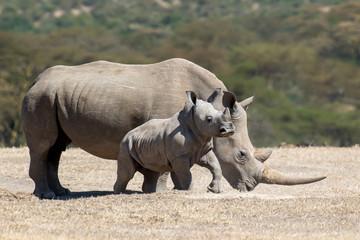 Photo sur Toile Rhino African white rhino