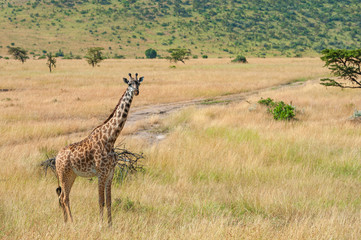 Wall Mural - Giraffe in National park of Kenya
