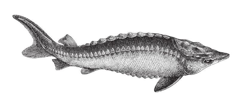 European Sturgeon (Acipenser Sturio) / vintage illustration from Meyers Konversations-Lexikon 1897