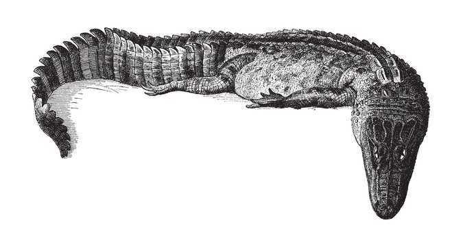 Alligator lucius / vintage illustration from Meyers Konversations-Lexikon 1897
