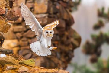 common barn owl ( Tyto albahead ) head close up Fototapete