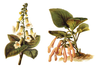 left Magic Flowers (Achimenes amabilis) and right Sinningia (Sinningia leucotricha) / vintage illustration from Meyers Konversations-Lexikon 1897