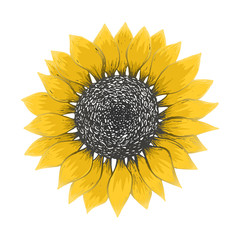 Bright sketch of colorful sunflower blossom with black seeds and yellow petals. Hand drawn color illustration of sun flower isolated on white background for pattern design, greeting card decoration