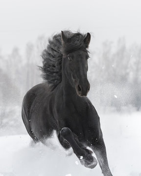 Portrait of a black friesian horse with the mane flutters on wind running gallop on the snow-covered field in the winter. Front side view