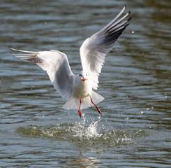 Black headed gull flying