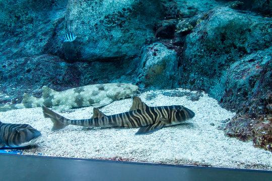 Zebra bullhead shark (Heterodontus zebra)