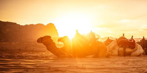 Dromedaries rest at sunset on the sand of the evocative Wadi Rum desert in Jordan..Backlit image.