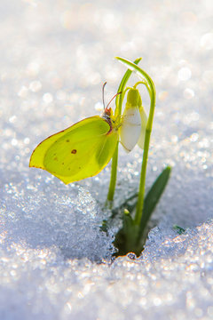 Beautiful butterfly climbs up first snowdrop flowers coming out from real snow in the bright sun, vertical