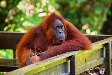 Bornean orangutan at Semenggoh Nature Reserve and  Wildlife Rehabilitation Centre Fotomurales