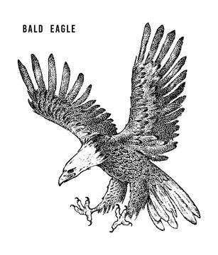 Bald eagle. Wild forest bird of prey. Hand drawn sketch graphic style.  Fashion patch. Print for  t-shirt, Tattoo or badges.