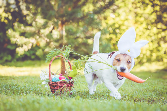 Happy dog wearing bunny ears for Easter party holding large carrot in mouth