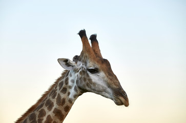 giraffe kopf