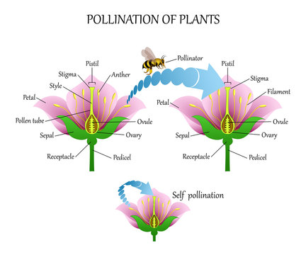Pollinating plants with insects and self-pollination, flower anatomy education diagram, botanical biology banner. Vector illustration.