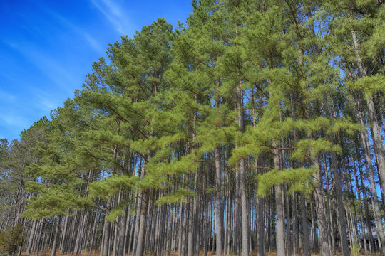 """""""The Pines of Winter"""" a grove of long leaf pine trees with blue sky in winter ZDS Americana Landscapes Collection"""