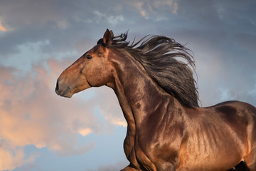 Wall Mural - Bay horse portrait with long mane close up in motion