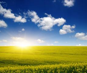 Fototapete - golden field of flowering rapeseed