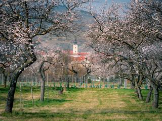 Marillenblüte bei Mautern an der Donau in der Wachau