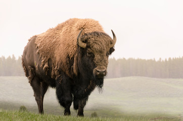 Canvas Prints Bison bison in Yellowstone Nationale Park in Wyoming
