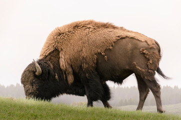 Fotorolgordijn Bison bison in Yellowstone Nationale Park in Wyoming