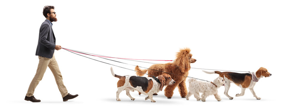Male dog walker walking four different dogs
