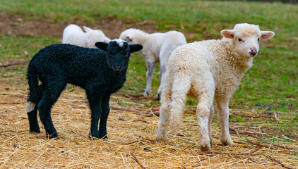 Fototapete - cute lambs close up