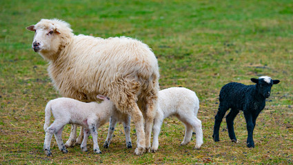 Fototapete - sheep and her lambs close up