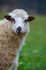 Fototapete - sheep portrait close up