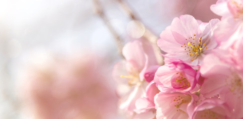 Frühlingsbanner oder Hintergrund mit Zierkirschblüten