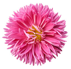 Watercolor pink aster flower isolated on white background with clipping path without shadows. close-up. Nature.